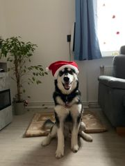 Tagesbetreuung für Junghund kein Verkauf