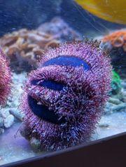 Meerwasser Mespila Globulus Seeigel