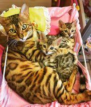 Schöne bengalische Kätzchen