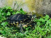 2 gelbwangen schildkröten