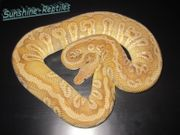 Python Regius 0 1 Hidden Gene