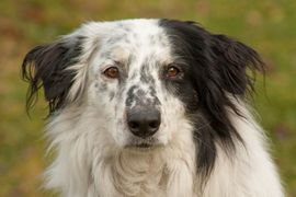 Bild 4 - Louisi 5 Jahre - Collie-Aussi-Mix - Tierhilfe - Lauf