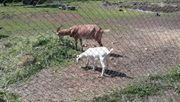 Zwei Ziegen suchen