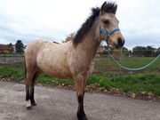 Bildhübsche buckskin Ponystute Kinderpony