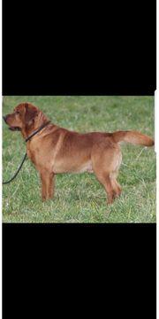 Labrador Deckrüde in Foxred