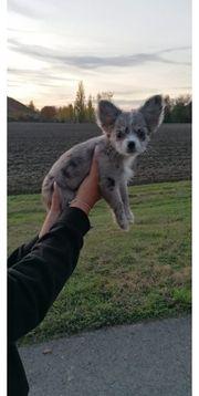 Chihuahua Welpe Hündin langhaar