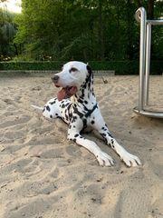 Dalmatiner Deckrüde sucht Hundedame