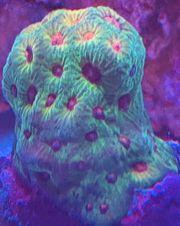 Korallen Meerwasser Favia fascination