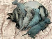 Sphynx kitten reinrassig