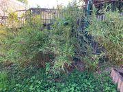 Bambuspflanzen abzugeben