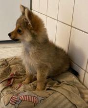 Pomeranian zwergspitz rüde