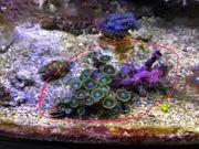 Meerwasser Zoanthus Röhrenkorallen reserviert