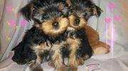 Yorkshire Terrier suchen ein liebevolles