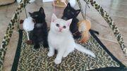 Reinrassige BKH Kitten in 4