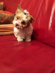 Klein bleibende XS Yorkshire Terrier