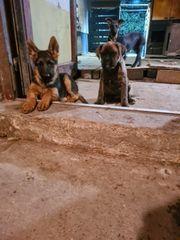 Deutscher Schäferhunden Welpe