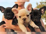 Reinrassige Französische Bulldogge Welpen sind