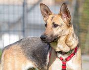 zierliche Schäferhund Hündin 1 Jahr