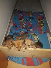 Jack Russel Terrier - Mix