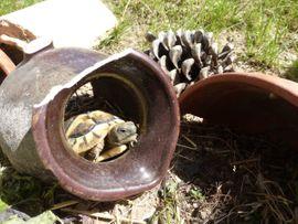 Schildkröten Baby Griechische Landschildkröte Testudo: Kleinanzeigen aus Riedstadt - Rubrik Reptilien, Terraristik