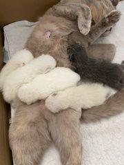 BKH Kitten British Kurzhaar Kitte