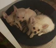 süße Chihuahua-jackrussel mixe suchen neues