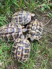 4 Griechische Landschildkröten aus 2014