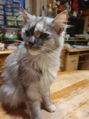 Reinrassige Maine Coon Katze xxl