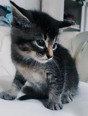 Norwegische Waldkatzenmix Kitten