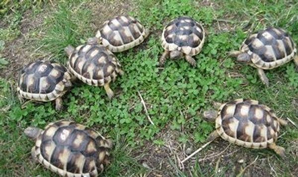 Breitrandschildkröten NZ 2017 Landschildkröten Schildkröten