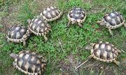 Breitrandschildkröten 2 Jahre alt