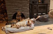 Französische Bulldoggen Welpen ab November