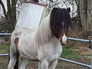 Island Pferd Isländer Alfur fra