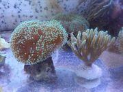 Meerwasser Korallen Sps Pilzlederkoralle