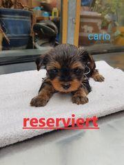 Kleine Yorkshire-Terrier-Welpen mit Papiere