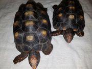 1 Paar Köhlerschildkröten