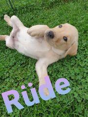 Reinrassige Labrador Welpen