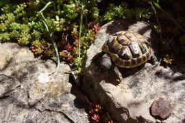 Reptilien, Terraristik - schöne rundgewachsene griechische Landschildkröten ab