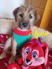 Ayan Welpe auf Pflegestelle in