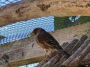Kanarienvögel Stieglitz mix