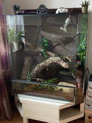 Kornnattern mit kompl Terrarium