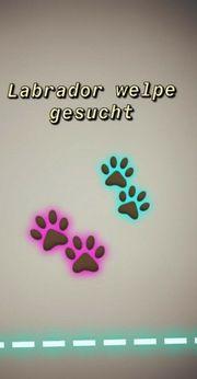 Labrador Welpe Rüde ab Mitte