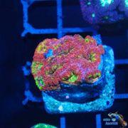 Korallen Meerwasser lps sps