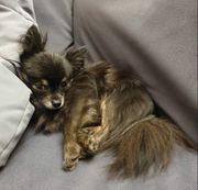 Chihuahua Deckrüde langhaar Black Tan