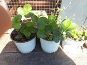 erdbeerpflanze immertragend