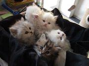 Edle Kätzchen zu verkaufen ab