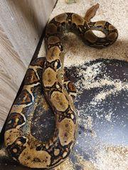 Boa constrictor imperator Costa Rica