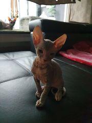 2 Don Sphynx kitten zu