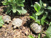 Aktive kleine Griechische Landschildkröten aus