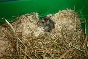 Hamster Männchen